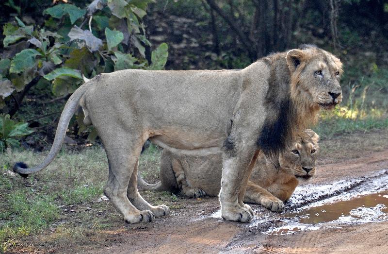 Asian lion gir national park gujarat