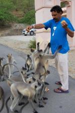 Raj feeding the langaur monkeys